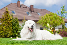 Big guard dog resting in front of the house. Polish Tatra Sheepdog Royalty Free Stock Photos