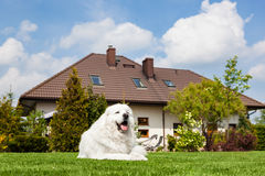 Big guard dog resting in front of the house. Polish Tatra Sheepdog Royalty Free Stock Photography