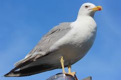 Western Gull royalty free stock images