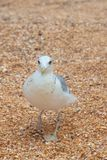 Big gull walking directly you by sand on the beach. Attractive big gull walking directly you by sand on the beach Royalty Free Stock Image