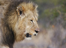 Big guy. Shortly after a fight, blooded, the male lion returns to his harem Stock Images