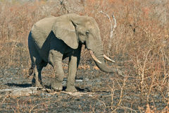 Big guy. Large male elephant in Kruger National Park, South Africa Stock Photo