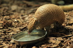 Big hairy armadillo Stock Photos