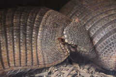 Big hairy armadillo Royalty Free Stock Photography
