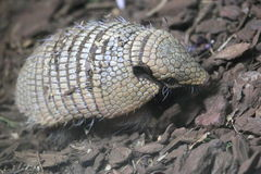 Big hairy armadillo Royalty Free Stock Photo
