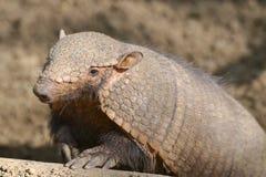 Big hairy armadillo. Closeup big hairy armadillo or large hairy armadillo Chaetophractus villosus Royalty Free Stock Photos