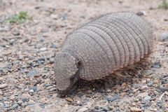 Big Hairy Armadillo at Large Royalty Free Stock Image