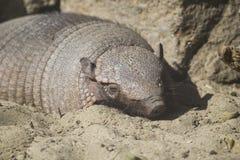 Big hairy armadillo sleeping Stock Images