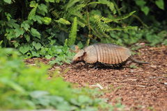Big hairy armadillo. Strolling on the soil Stock Photography