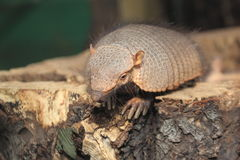 Big hairy armadillo Stock Images