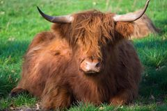 Big hairy brown yak bull resting on green meadow stock photography