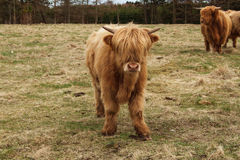 Big hairy bull standing in a field. European breeds Royalty Free Stock Images