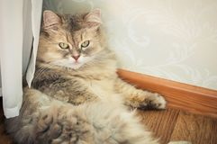 Big hairy cat. Big furry cat lies on the floor Royalty Free Stock Images