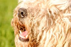 Big hairy dog`s nose stock photo