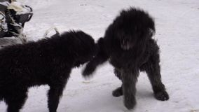 Big hairy dogs play with each other in the winter. Bouvier des Flandres stock footage