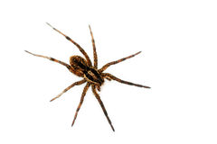 Big hairy spider Stock Image