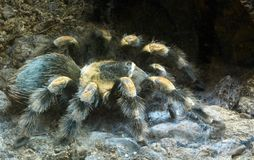 Big hairy spider Royalty Free Stock Photos