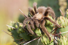 Big hairy spider Stock Photography