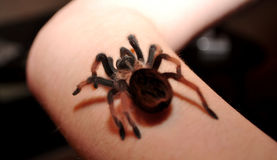 Big hairy spider Royalty Free Stock Photography
