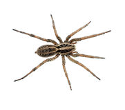 Big hairy spider macro isolated - Lycosidae Royalty Free Stock Photo