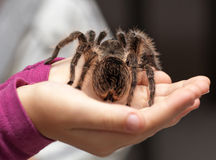 Big hairy tarantula Royalty Free Stock Images