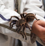 Big hairy tarantula Stock Photo