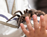 Big hairy tarantula Royalty Free Stock Image