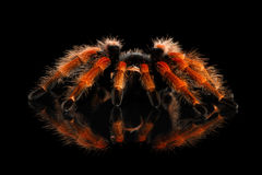 Big hairy Tarantula Theraphosidae isolated on Black Background Royalty Free Stock Images