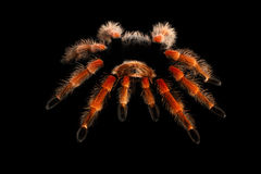 Big hairy Tarantula Theraphosidae isolated on Black Background Stock Images