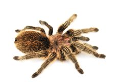 Big hairy tarantula on white background Royalty Free Stock Photo