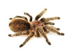 Big hairy tarantula on white background Royalty Free Stock Photo