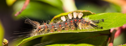 Big hairy vapourer moth caterpilla side view Stock Images