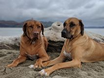 Cute happy big dogs sitting together on beach holding hands looking at camera with san francisco bay in the background on sand royalty free stock images