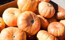 Big harvest of pumpkins, pumpkins in basket Stock Images