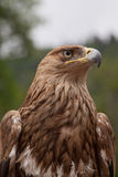 Big Hawk Stock Images