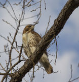 A big hawk on a tree branch Stock Photography