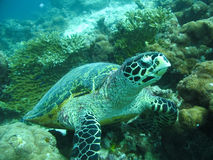 Big Hawksbill Turtle. A big Hawksbill Turtle in Maldivian ocean royalty free stock photo