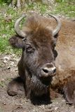 Big head of bison Royalty Free Stock Photo