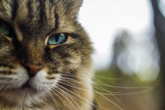 Big head cat blue eyes royalty free stock photo