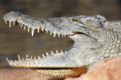 Big head of crocodile Royalty Free Stock Photography