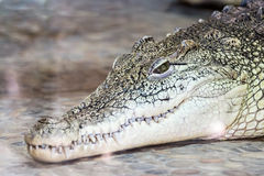 Big head of a crocodile Stock Image