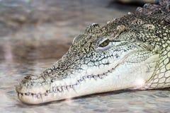 Big head of a crocodile Stock Image