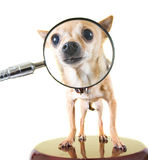 Big head dog Royalty Free Stock Image
