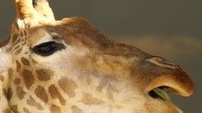 Big head of a giraffe close-up, eating grass. The big eyes. The branch of green leaves. camera movement in the side. Big head of a giraffe close-up, eating stock video footage