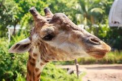 Big head of giraffe. Stock Image