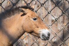 Big head or muzzle of a horse Royalty Free Stock Photo