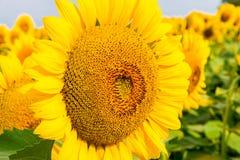 Big head of sunflower. Stock Photography