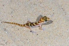 Big headed gecko, ifaty Royalty Free Stock Photography