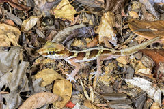 Big headed gecko, kirindy Royalty Free Stock Image