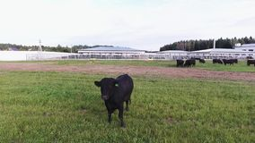 Big healthy bull roams on green fenced pasture in area of modern animal farm. Big healthy bull is freely roaming on green fenced pasture with long fresh grass stock video